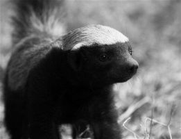 Honey Badger by FSGPhotography