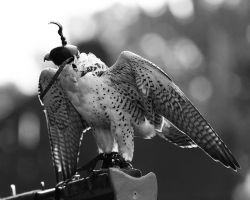 Falconry 4 by S-H-Photography