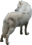 White Wolf Precut by WolfLover10122