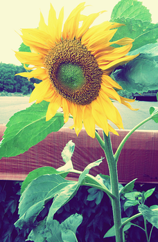 Sunflower by Sandmeer