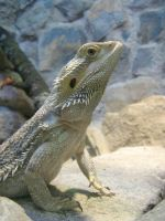 Bearded Dragon by ankewehner