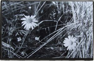 Daisies by itsallforyousir