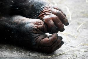 Houston Zoo - Chimp Feet by BPHaines