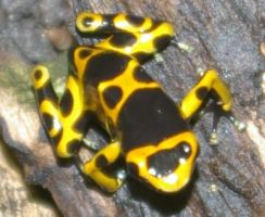 Yellow Poison Dart Frog by OverStocked