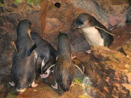 Penguins 06 by LithiumStock