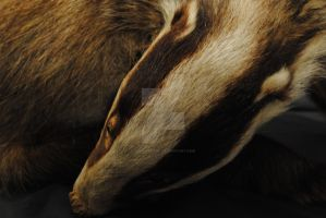 Badger by simplyfrank