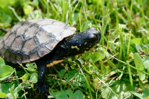 Blanding's Turtle II by EarthBerry