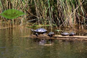 Turtle Family Outing by AllisonDahl