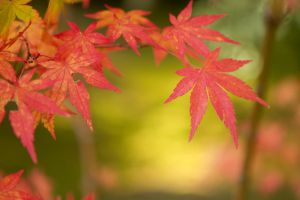 Japanese Maple Leaf by SonjaPhotography