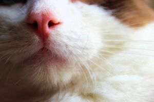 upclose picture of cats pink nose by Carameldreamsx