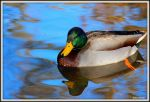 Portrait of a Mallard by SilkenWinds