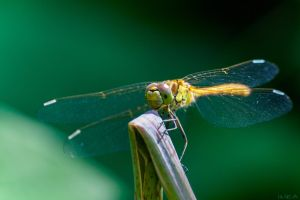 Sympetrum by IHEA