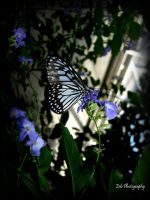 Butterfly Blues by erbphotography