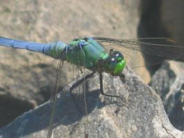 Darner Dragonfly by AnimalPlanetClub