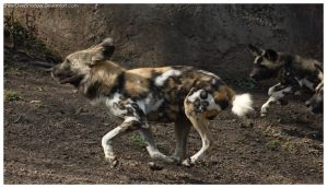 African Wild Dog - Pups 032 by ShineOverShadow
