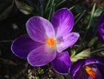 Crocus Close up by Bwabbit
