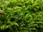 mosses by schaduwvacht