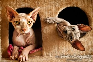 My Sphynx Cats by DevillePhotography