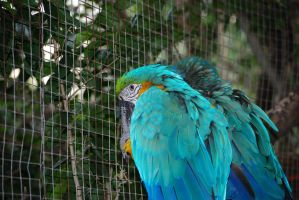Macaws by krazy3