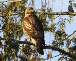 Watchful Red-tailed Hawk by swashbuckler