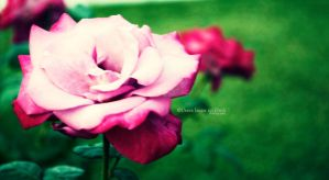 Day 75: A Pink Rose. by umerr2000
