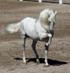 white andalusian 3 by venomxbaby