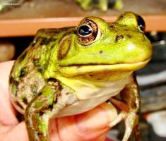 N Green Frog 1 2010 by seto2112