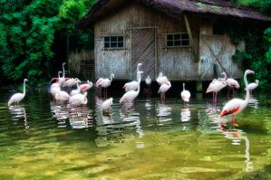 des flamands roses by KIKIphotolove