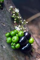They call me Jabuticaba by EyeInFocus