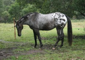 Appaloosa Stand/ Look Down by YumpyStock