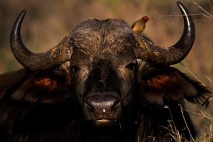 Buffalo by catman-suha