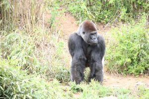 Gorilla front view by Irie-Stock