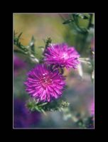 New York Aster II by lovingenglish