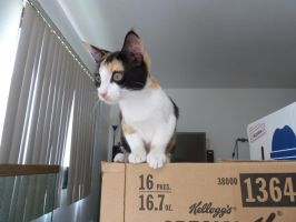 Cali the Calico! by DanikaMilles