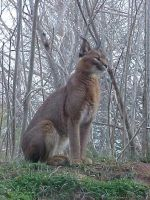 Caracal by imerald
