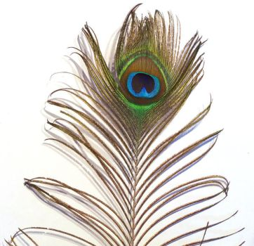 Peacock Feather 1 by Imm0rtal-St0ck