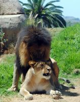 Lions mating 4 by fosspathei