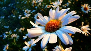Colours Of Daisy Flower by Arek-OGF