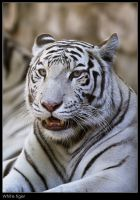 White tiger 2 by Dickie67