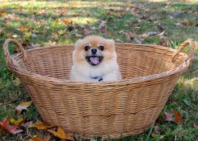 Happy Pomeranian Puppy! by Lambieb123