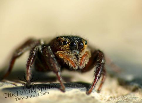 Greenhouse - Jumping Spider - Hasarius Adansoni by TheFunnySpider