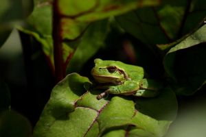 Tree frog by Freya7