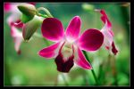 orchid by mikenrico