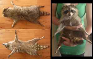 Raccoon Premade details! by Tricksters-Taxidermy
