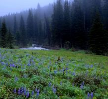 SF Lupines by wyorev