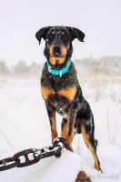 Winter beauceron by Minyaloth