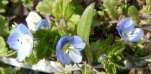small blue flowers by andi40