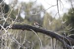 American Kestrel with Mouse in Tree by Shadow848327