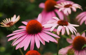 echinacea by CeaSanddorn