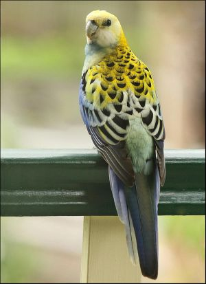 Pale Headed Rosella Again by Firey-Sunset